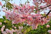 春色滿園 花旗木:DSC_0302_調整大小.JPG
