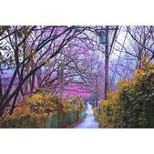 陽明山 櫻花林:相簿封面