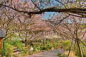陽明山 橘餐廳 櫻花賞 4.10:DSC_0077_調整大小.JPG