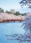 日本 平成時期的最後櫻花...2019:33696916413_638b36cee1_c_調整大小.jpg