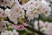 陽明山 櫻花+1:DSC_0037_調整大小.JPG