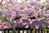 春色滿園 花旗木:DSC_0489_調整大小.JPG