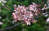春色滿園 花旗木:DSC_0529_調整大小.JPG