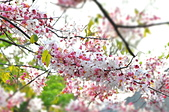 春色滿園 花旗木:DSC_0272_調整大小.JPG