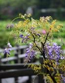 紫籐霧雨:DSC_5941_調整大小.JPG