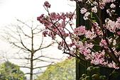陽明山 櫻花+1:DSC_0112_調整大小.JPG