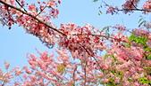 春色滿園 花旗木:DSC_0307_調整大小.JPG