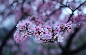 陽明山 櫻花+1:DSC_0279_調整大小.JPG