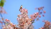 春色滿園 花旗木:DSC_0358_調整大小.JPG