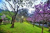 陽明山 櫻花+1:DSC_0320_調整大小.JPG