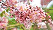 春色滿園 花旗木:DSC_0353_調整大小.JPG