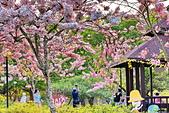 春色滿園 花旗木:DSC_0495_調整大小.JPG