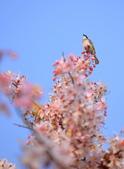 春色滿園 花旗木:DSC_0359_調整大小.JPG
