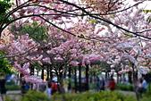 春色滿園 花旗木:DSC_0514_調整大小.JPG