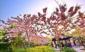 春色滿園 花旗木:DSC_0425_調整大小.JPG