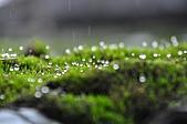 陽明山花季雨中:_DSC0210.JPG