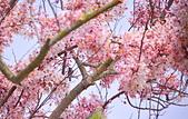 靜謐三月 花旗木: