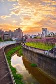 內湖 櫻花 2020:DSC_0833_調整大小.JPG