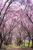 50農場櫻花 :20210302 武陵農埸_210311_4_調整大小.jpg
