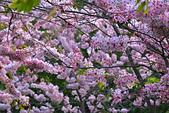 春色滿園 花旗木:DSC_0512_調整大小.JPG