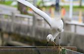 遇見 白鷺鷥:DSC_0195_調整大小.JPG
