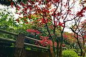 陽金公路的 紅槭:DSC_0054_調整大小.JPG