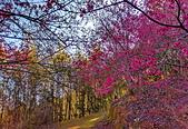 白毛台山  櫻花:IMG_20210213_091916_調整大小.jpg