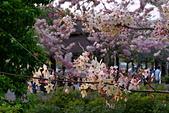 春色滿園 花旗木:DSC_0520_調整大小.JPG