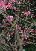 紅櫻花上的綠繡眼: