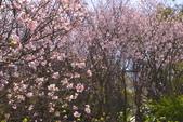 三芝 櫻花:DSC_0072_調整大小.JPG