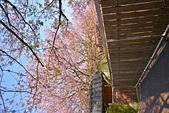 陽明山 橘餐廳 櫻花賞 4.10:DSC_0070_調整大小.JPG