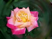新生公園 玫瑰花:IMG_20210331_172933_調整大小.jpg