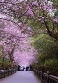 內湖碧山巖 櫻花道:DSC_0010.jpg