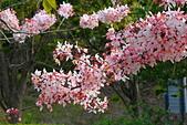 春色滿園 花旗木:DSC_0304_調整大小.JPG
