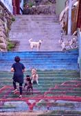 淡水 戀愛巷:黃狗準備打架...結果被主人 抱回家.罵:年紀大.還要和別人打架....