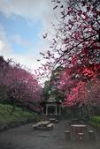 陽明山 後山公園 櫻花:DSC_0201.jpg