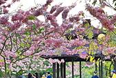 春色滿園 花旗木:DSC_0500_調整大小.JPG