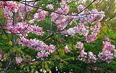 春色滿園 花旗木:DSC_0505_調整大小.JPG