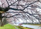 日本 平成時期的最後櫻花...2019 4月:84A5ED9C-EB05-4B36-BA13-C32F4042FD23_調整大小.jpg