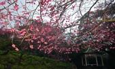 陽明山 後山公園 櫻花:DSC_0211.jpg