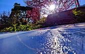 白毛台山  櫻花:IMG_20210213_085957_調整大小.jpg