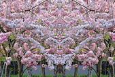 春色滿園 花旗木:DSC_0525_調整大小.JPG