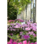 台大杜鵑花節2021:相簿封面