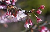 2021平菁街 第ㄧ棵滿開的櫻花:DSC_0350_調整大小.JPG