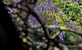 粗坑窯 紫藤:DSC_9709_調整大小.JPG
