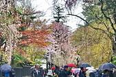 日本 平成時期的最後櫻花...2019 4月:603C9B6A-B314-465B-8822-8B997E75BD86_調整大小.jpg