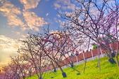 內湖 櫻花 2020:DSC_0811_調整大小.JPG