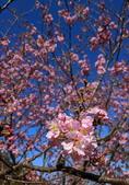 白毛台山  櫻花:IMG_20210213_090800_調整大小.jpg