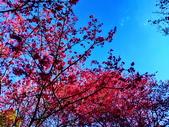 白毛台山  櫻花:IMG_20210213_091516_調整大小.jpg