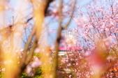 三芝 櫻花:DSC_0063_調整大小.JPG